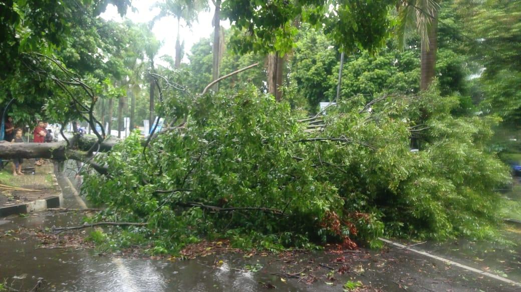 Pohon Tumbang Berdampak Tewasnya Pemotor 197