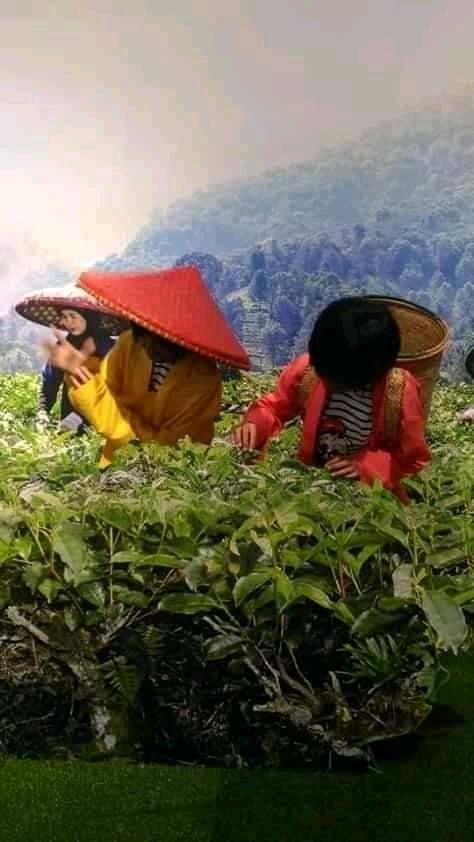 Wisata Edukatif Kebun Teh Puncak Bogor 237