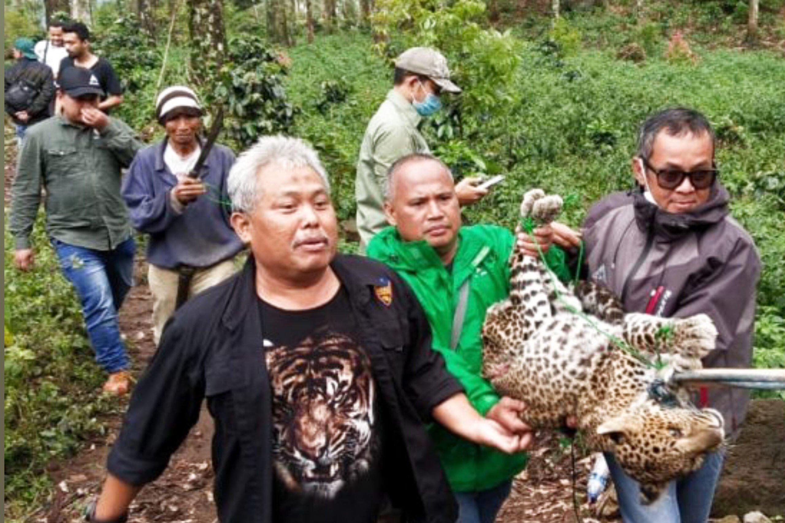 Petani Temukan Macan Tutul Dalam Keadaan Kritis di Hutan Lindung Kawah Putih Bandung 233
