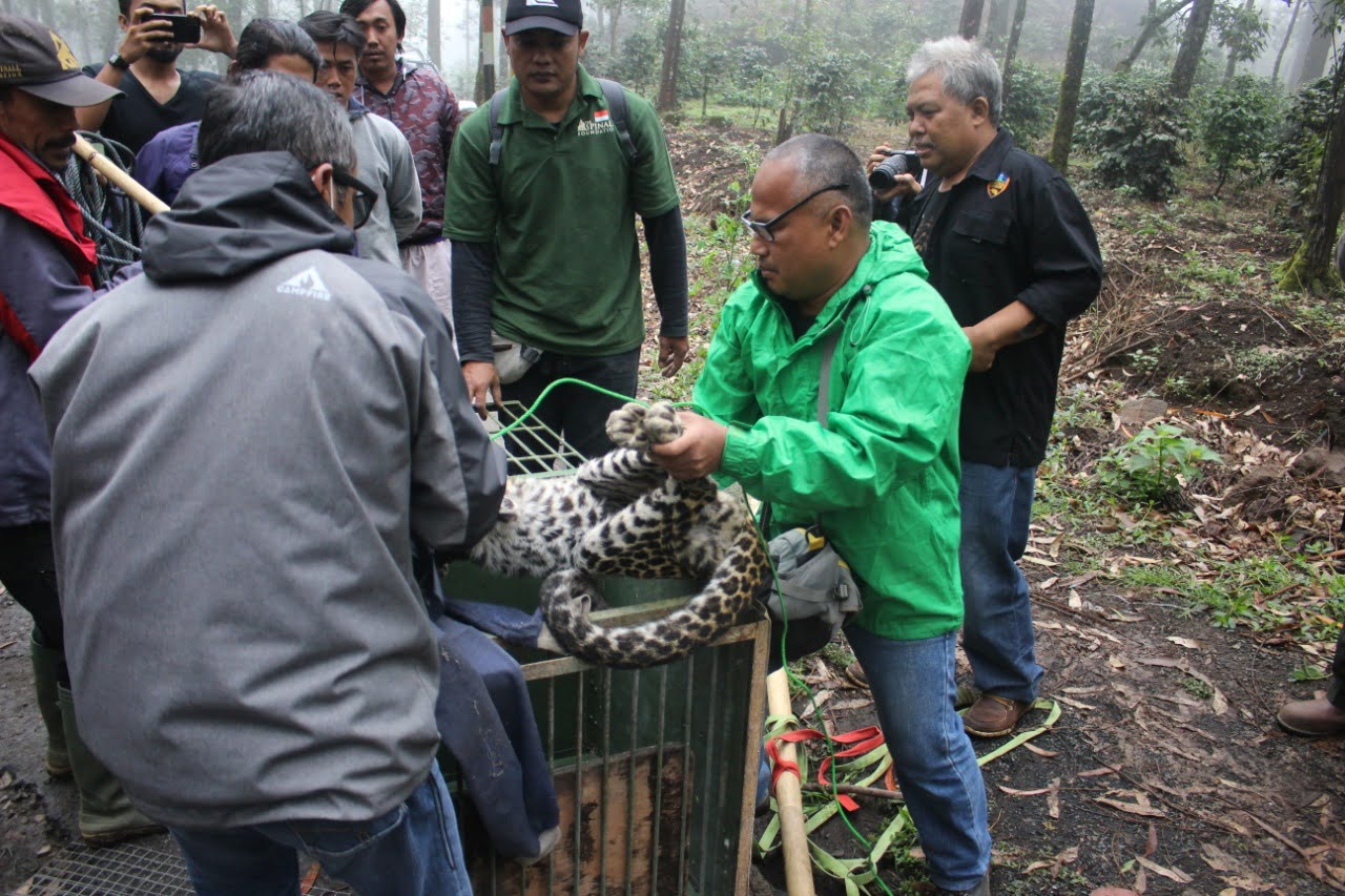 Populasi Macan Terancam Punah FK3I Jabar Desak KLHK Gelar Rencana Aksi Mitigasi Konflik 233
