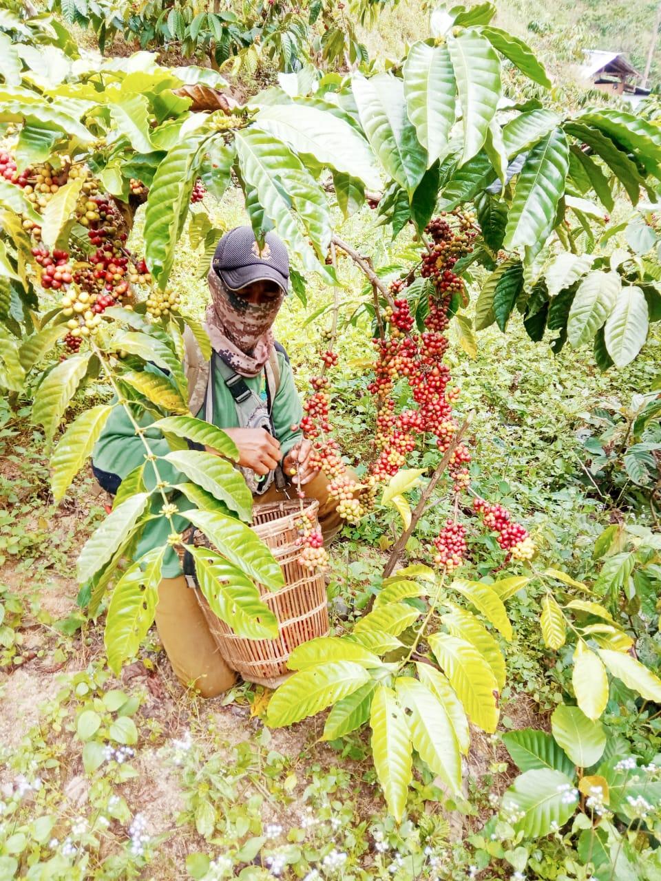 Kelompok Tani Daun Sejati Jaya Desa Sukaharja Kembangkan Kuantitas dan Kualitas Kopi Asli Bogor 235